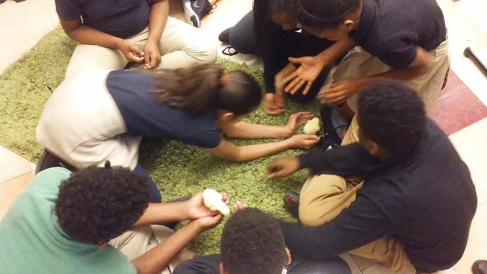 Urban Pathways sixth grade study embryology by hatching chicken eggs