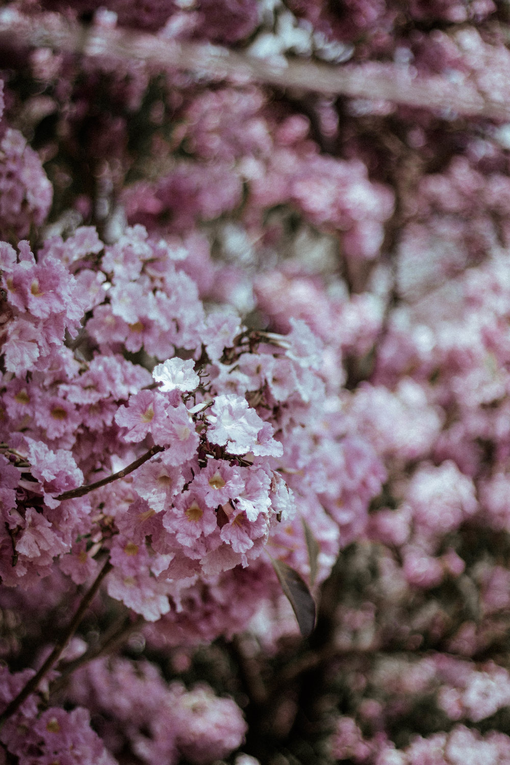 - Pink petals passingScents above so highPainted porcelain perfection Blossoms caress the sky