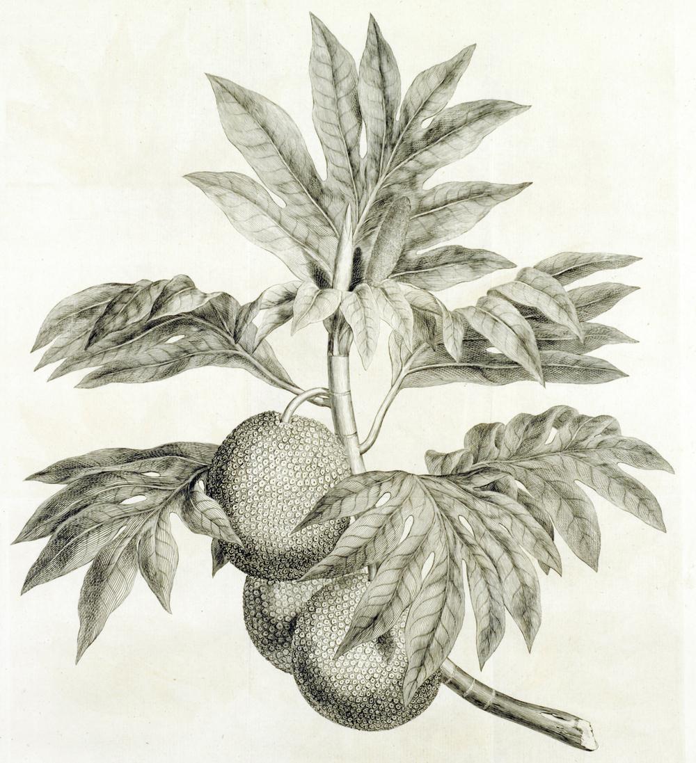 Copy of Breadfruit