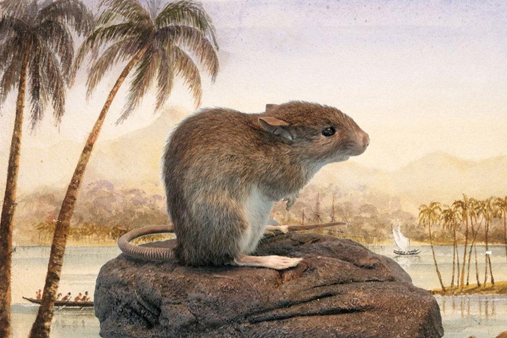 The Polynesian rat ( Rattus exulans ).