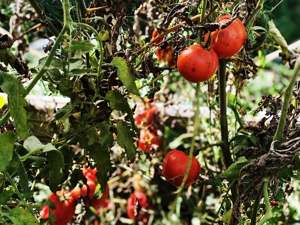 Tomatoes from Mark Baldwin's greenhouse in Flint, Michigan. © E.A. Crunden