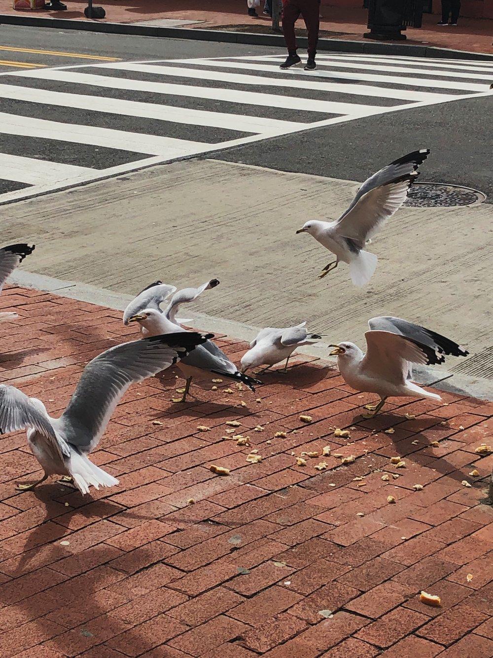 Seagull invasion in Northwest D.C. © E.A. Crunden