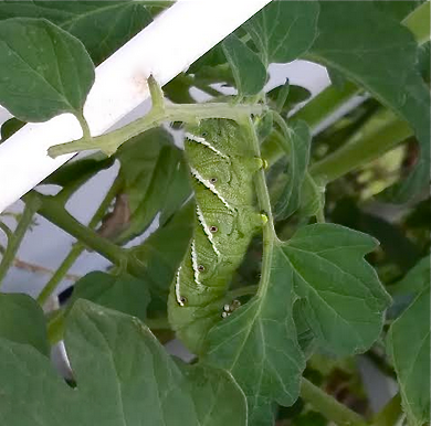 natural pest control in tower garden - #foodisourfriend #growhealthyfood blog by IM Nutrition