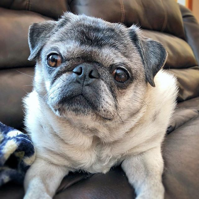 Who else is watching the Dog Bowl on @animalplanet!? Go senior dogs go!! Look for our pals @hamiltonpug and @realrufuspug in the stands! 🏈🐶 #dogbowl