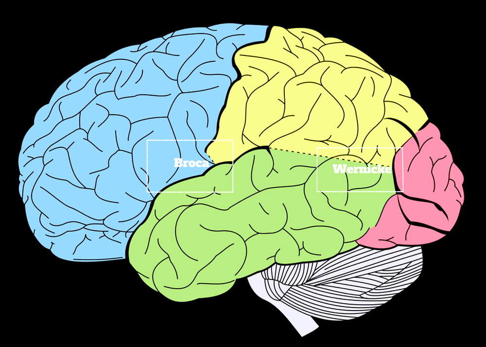 Fun Fact: secondary language acquisition correlates with anatomical changes in the brain.