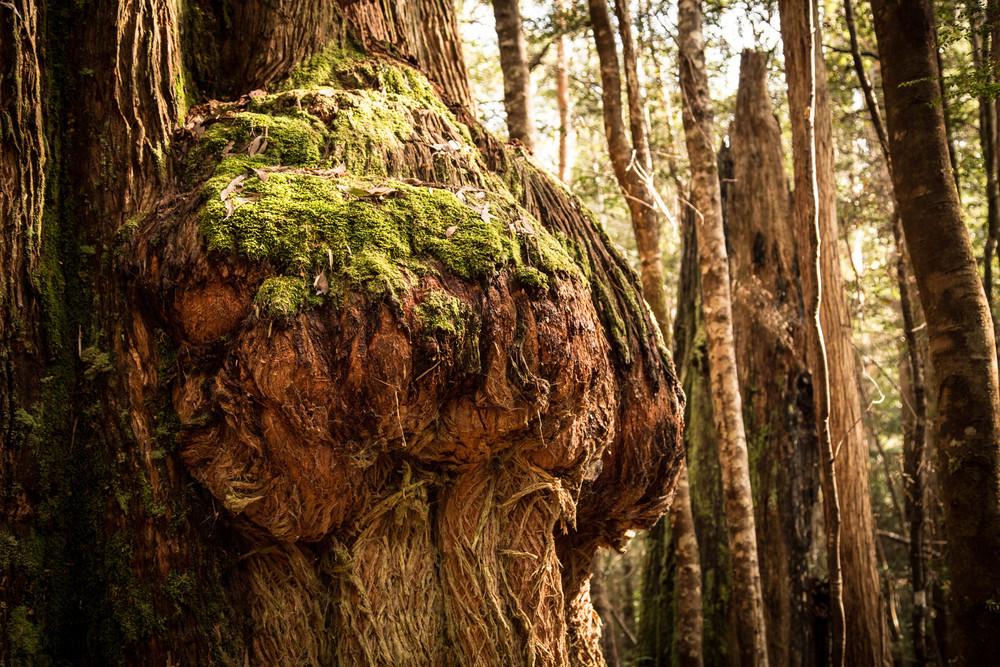 Wild Pedder - Massive burl on Eucalyptus Regnans