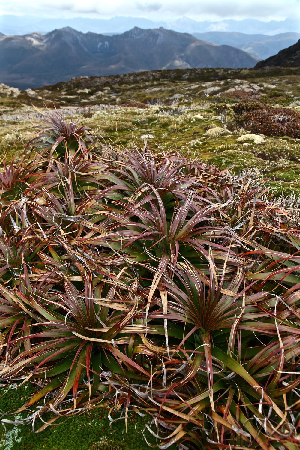 Wild Pedder - Alpine Vegetation on Mount eliza