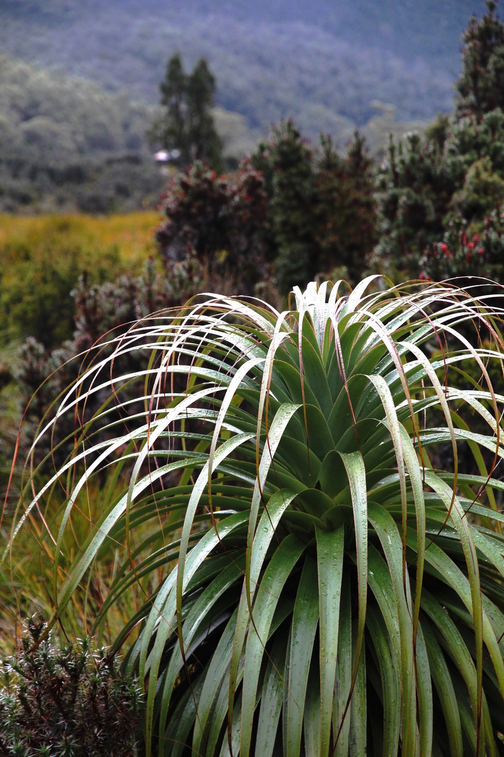 Richea Pandanifolia in Mount Field National Park