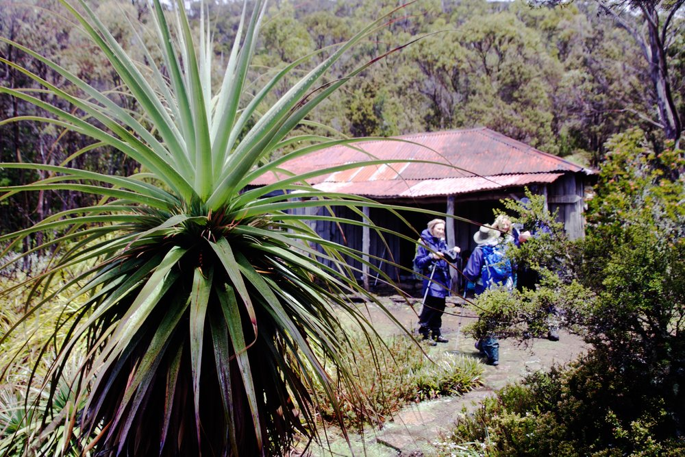 Richea pandanifolia and Twilight Tarn Hut