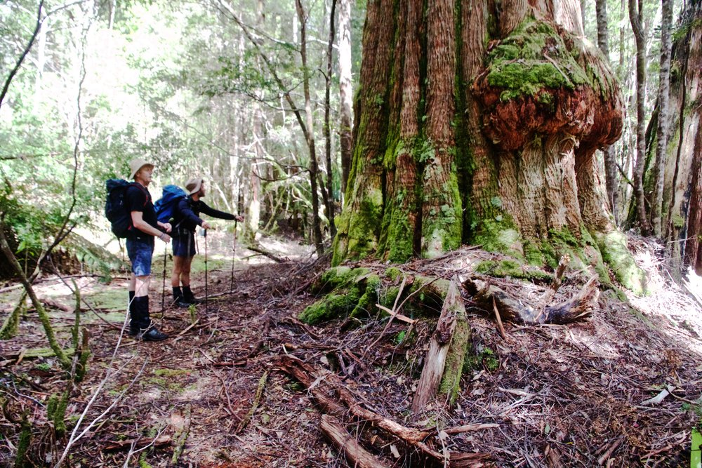 Bernie & Lou Inspecting 500 Years Of Old Growth