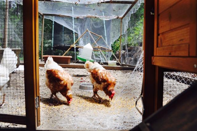 Chickens_Akhanda_Yoga_Australia_Yoga_Teacher_training_retreat_centre_GoldCoast_35.jpg