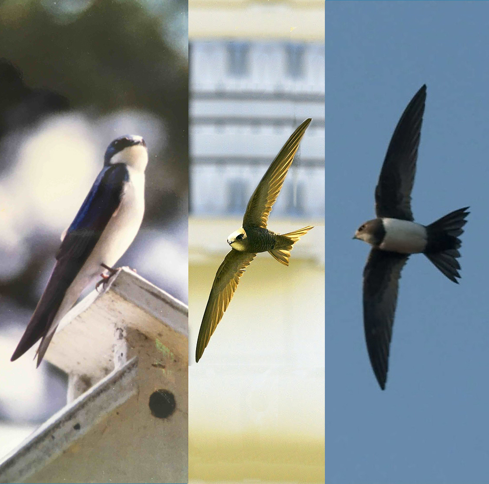 A Violet Greenback Swallow on the left, Pallid Swift center and Alpine Swift on the right.  Swallows and Swifts are not related as a species but the similar appearance developed due to their similar life styles.  They eat only flying bugs, catching them in mid air (so they are great to have around at a barbecue).  They are expert flyers and never touch the ground (long wing span and short legs).