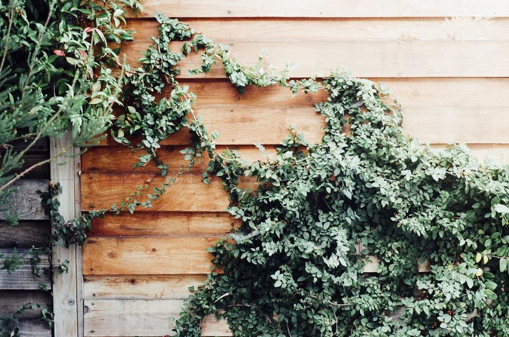 fence-overgrown-ivy.jpg