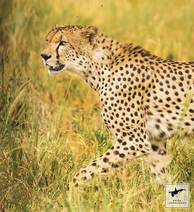 This young cheetah was tracking an impala right in front of our car in Tarangire, Tanzania. There was 3 young ones like this and their mother. It was quite amazing to see them all go after the impala!