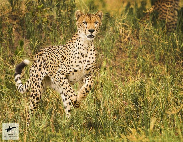 This beautiful cheetah was with his siblings and they were practising how to hunt. Even though they didn't manage to catch anything it was a pleasure to watch their natural behavior when they spotted some prey.