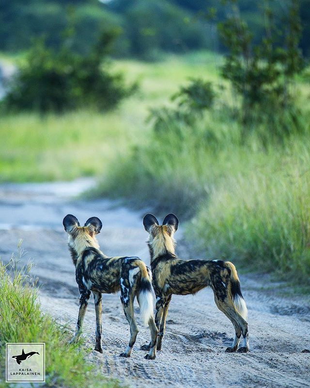 Top hunters of the savannah 💕