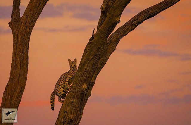 So rare to see a serval on a tree! Have you ever spotted one somewhere else than on the grasslands? #sonyalpha9