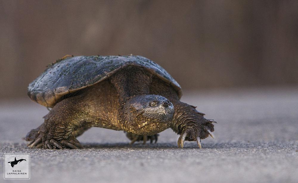 kilpikonna.jpg