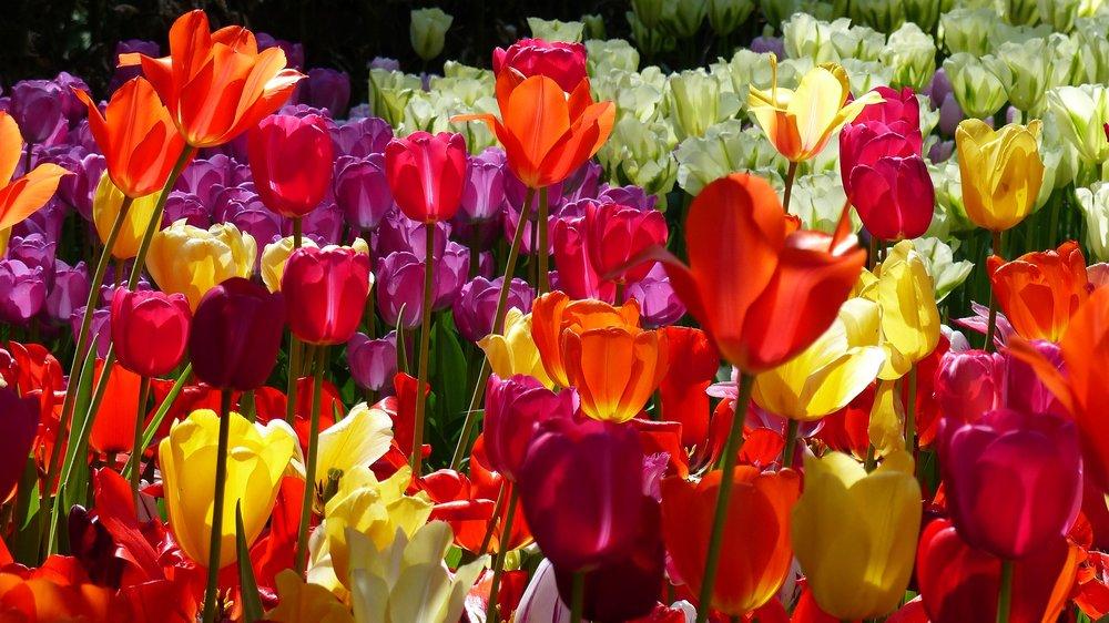tulips-in-keukenhof--pixabay-2787292_1920.jpg