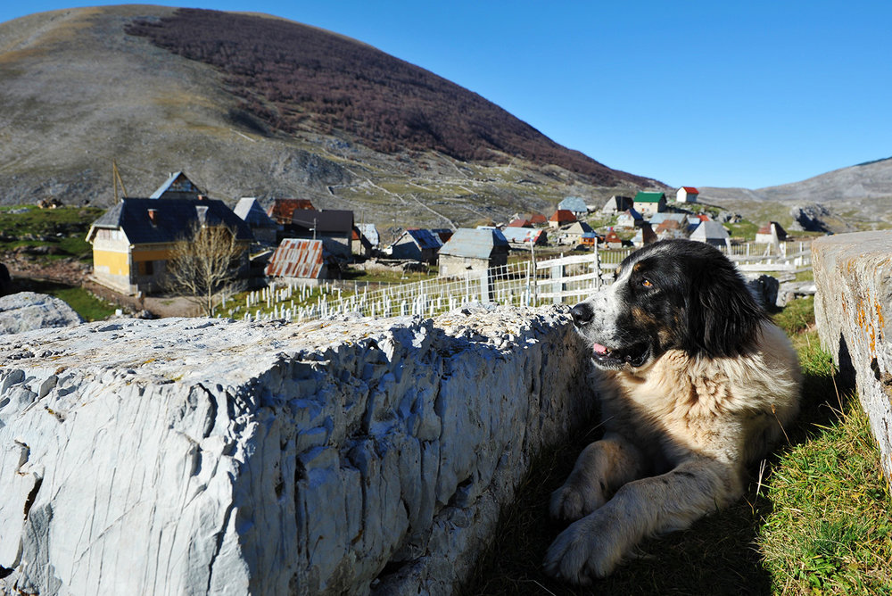 Mountain Sheepdog Tornjak rests between stecaks at the entrance to the Lukomir village. The village is located on the southern slopes of Bjelasnica at 1495 meters altitude, which makes it most populated place of Bosnia and Herzegovina and the only over 1300 m. Based on stecaks located in the village and dating from the 14th and 15th centuries, it is believed that the village was inhabited and hundreds of years ago.