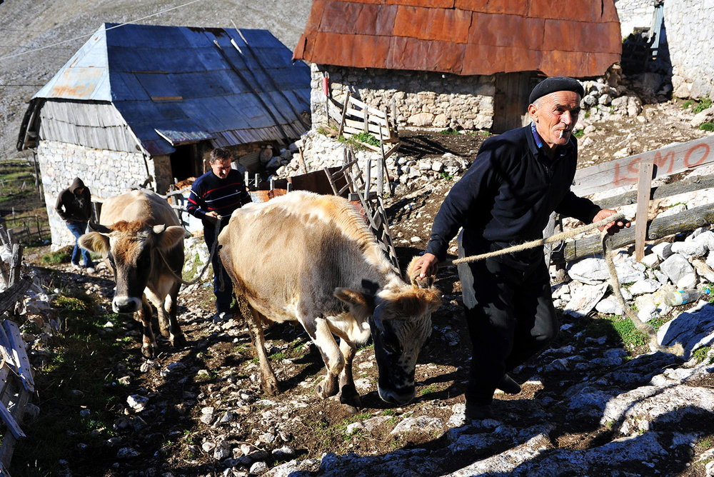 Ismet Comor leads a cow through the Lukomir village, cow will be transported by truck to the lower areas where they will be during the winter