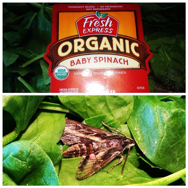 Went to @BJsWholesale in the Bronx and purchased @freshupdates spinach and found my poor little friend inside. I think he is a #WhiteLinedSphinxMoth RIP Mr. Moth. Yeah, just a little grossed out.