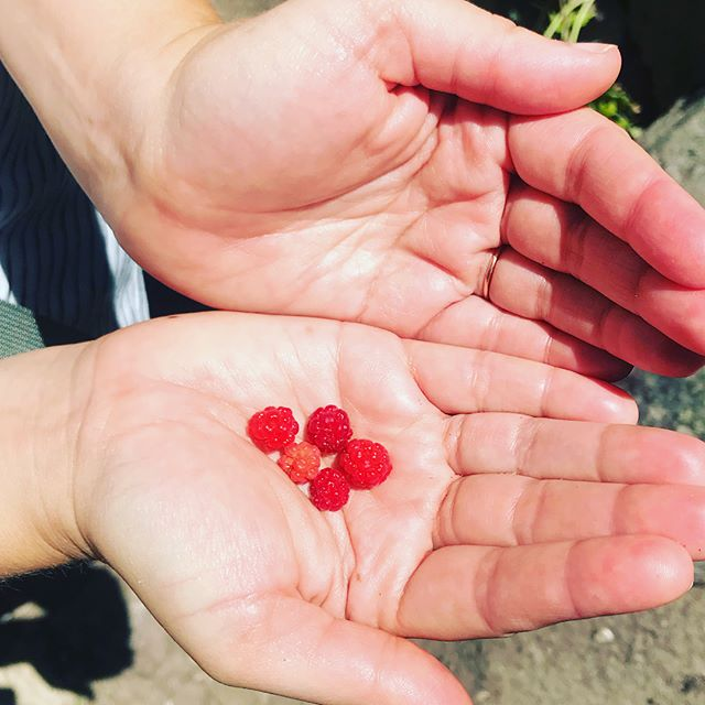 Wild raspberries! Perfect treat to celebrate several intensive writing weeks, and a symbolic offering of appreciation to my talented publishing coach @lisaweinert for her skilled guidance 🌺 On to the final mile with my manuscript, hoping for further sweet discoveries....