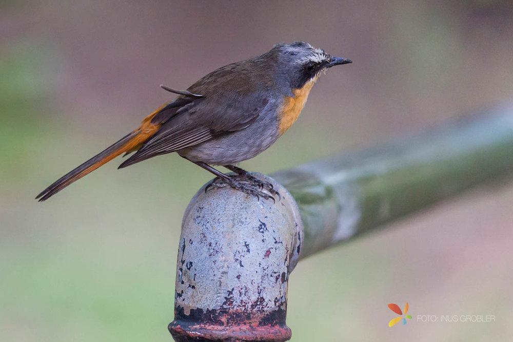 A Cape Robin (Janfrederik)
