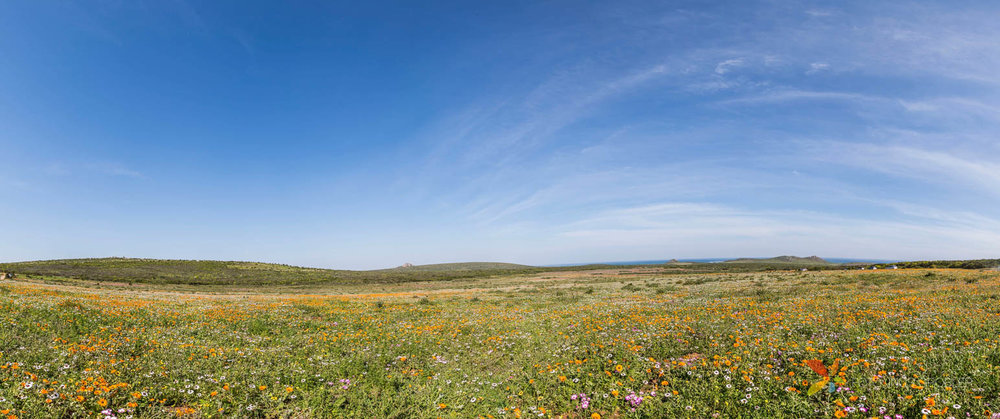 Flowers on the West Coast of South Africa Panorama with the ocea