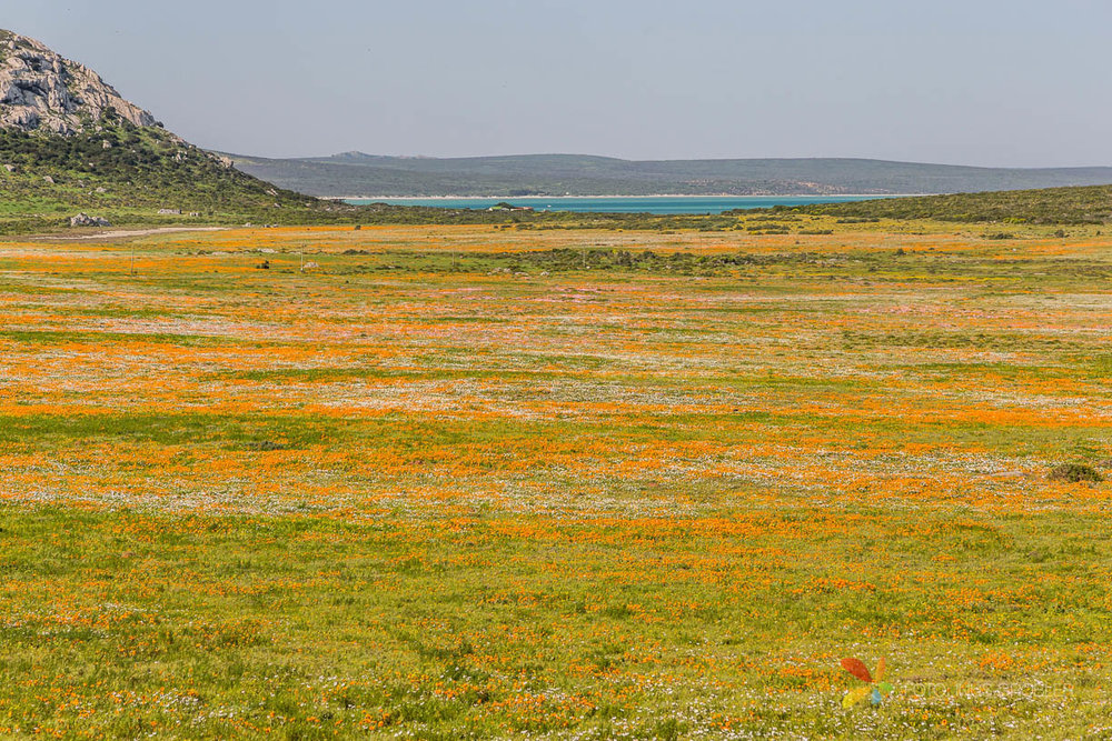 Patch of Orange Flowers in the South African West Coast