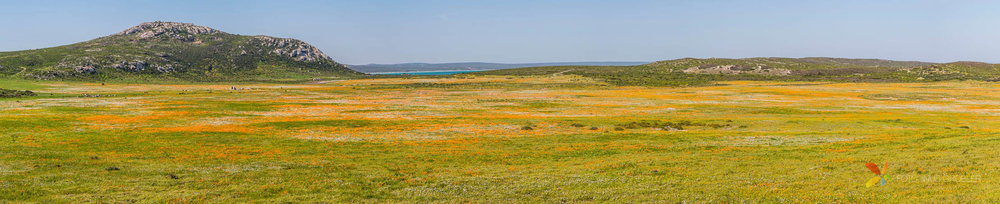 Patch of Orange Flowers in the South African West Coast panorama