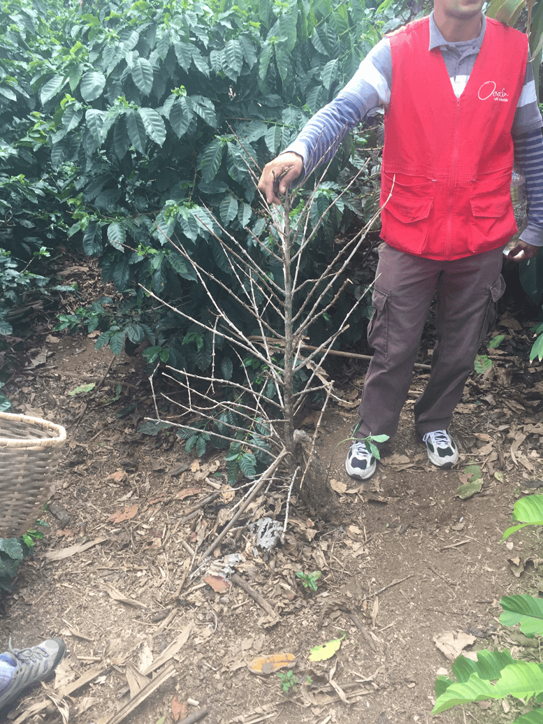 Chapola Coffee Plant