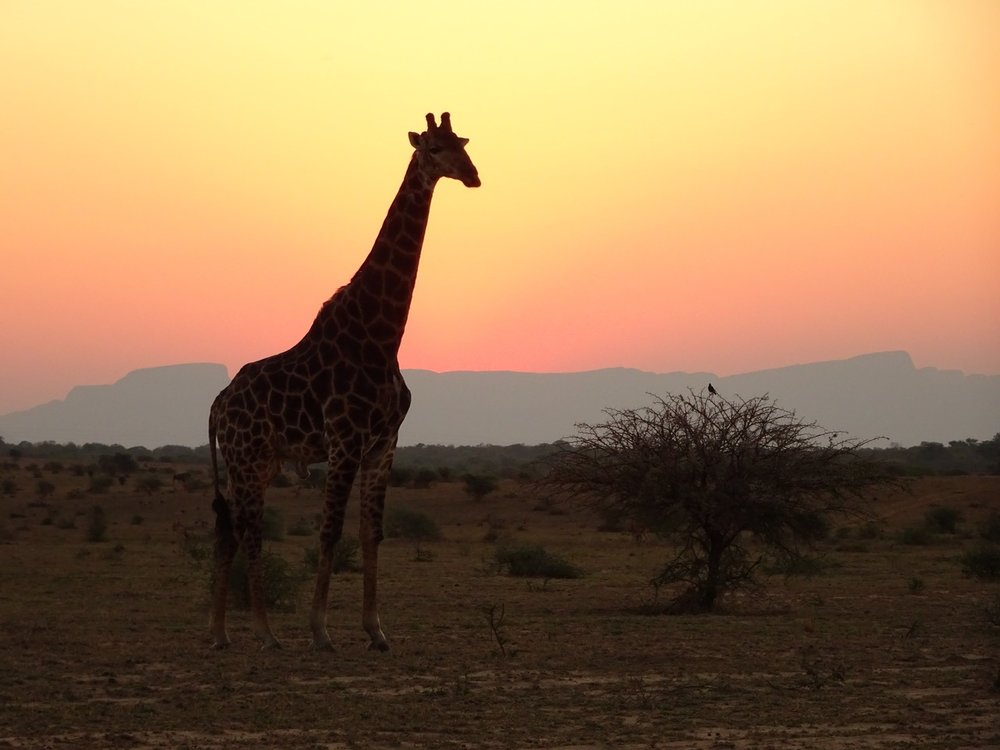 Giraffe in the sunset- Kapama