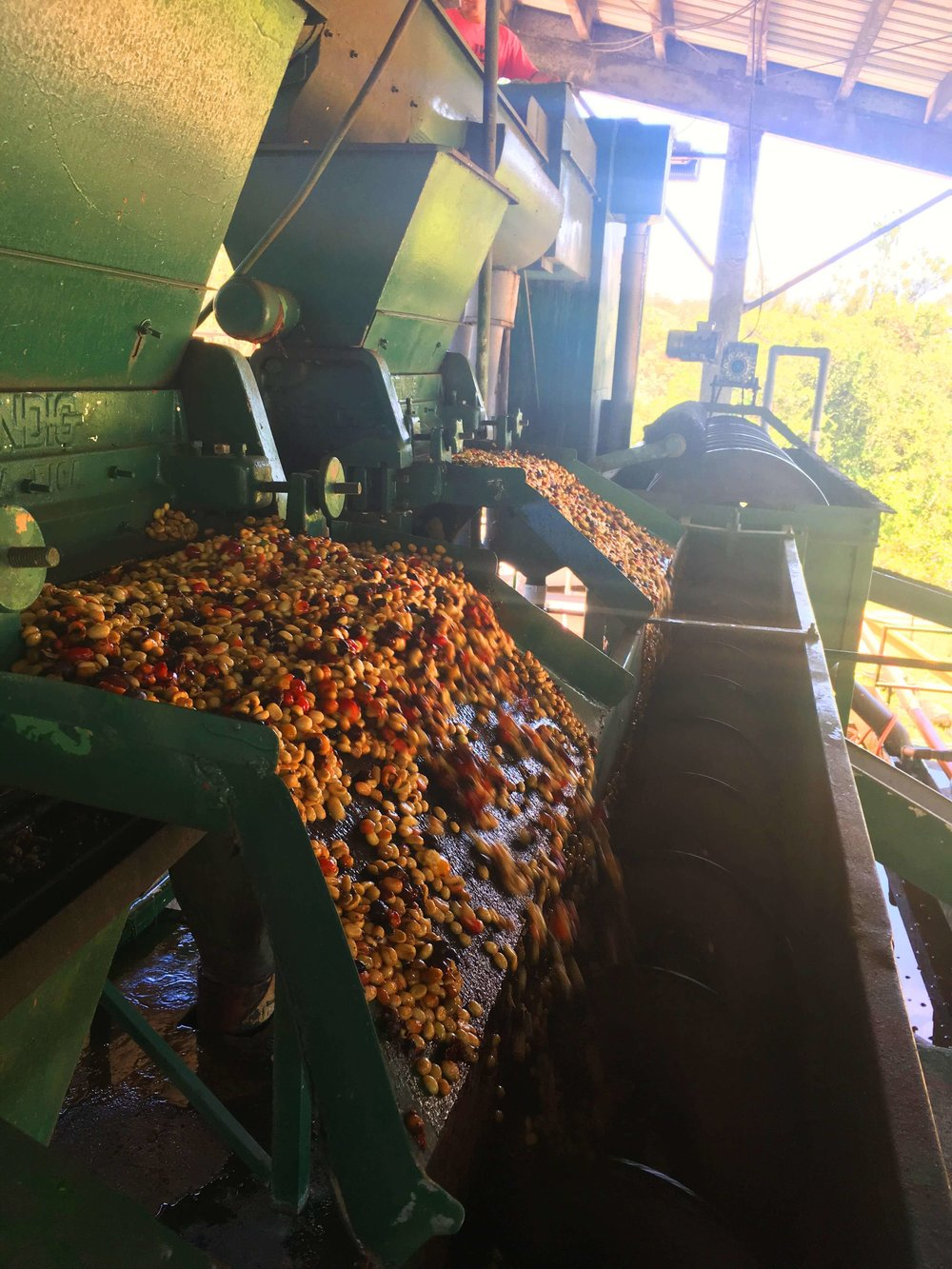 Coffee is washed before pre-drying