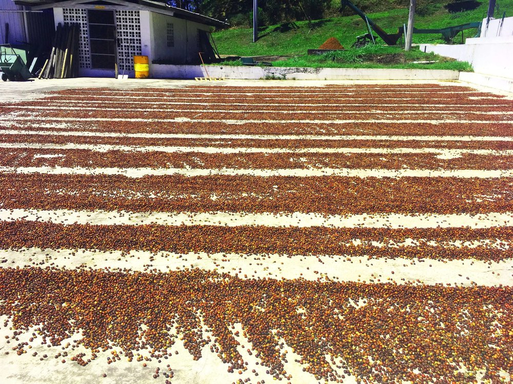 Geisha specialty beans pre-drying