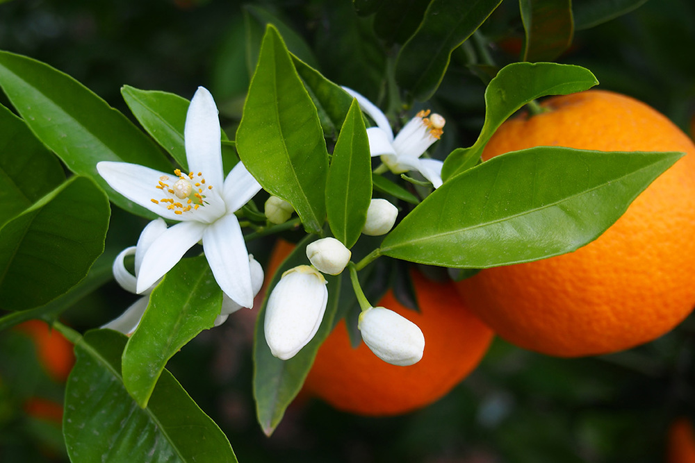 Orange_Blossom.jpg
