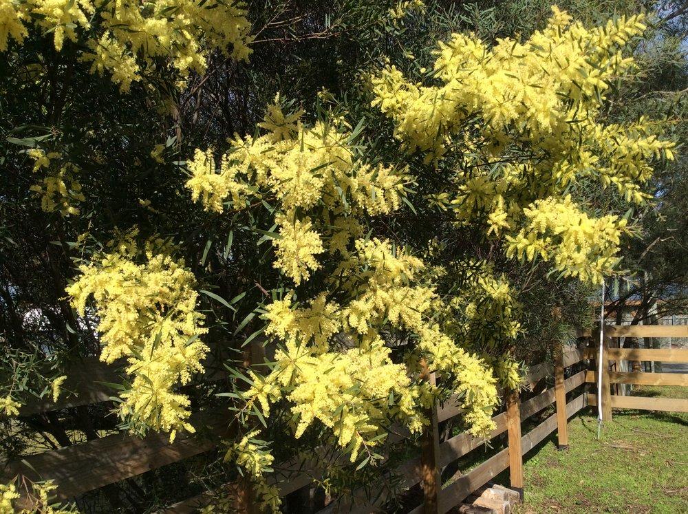 Acacia in blossum