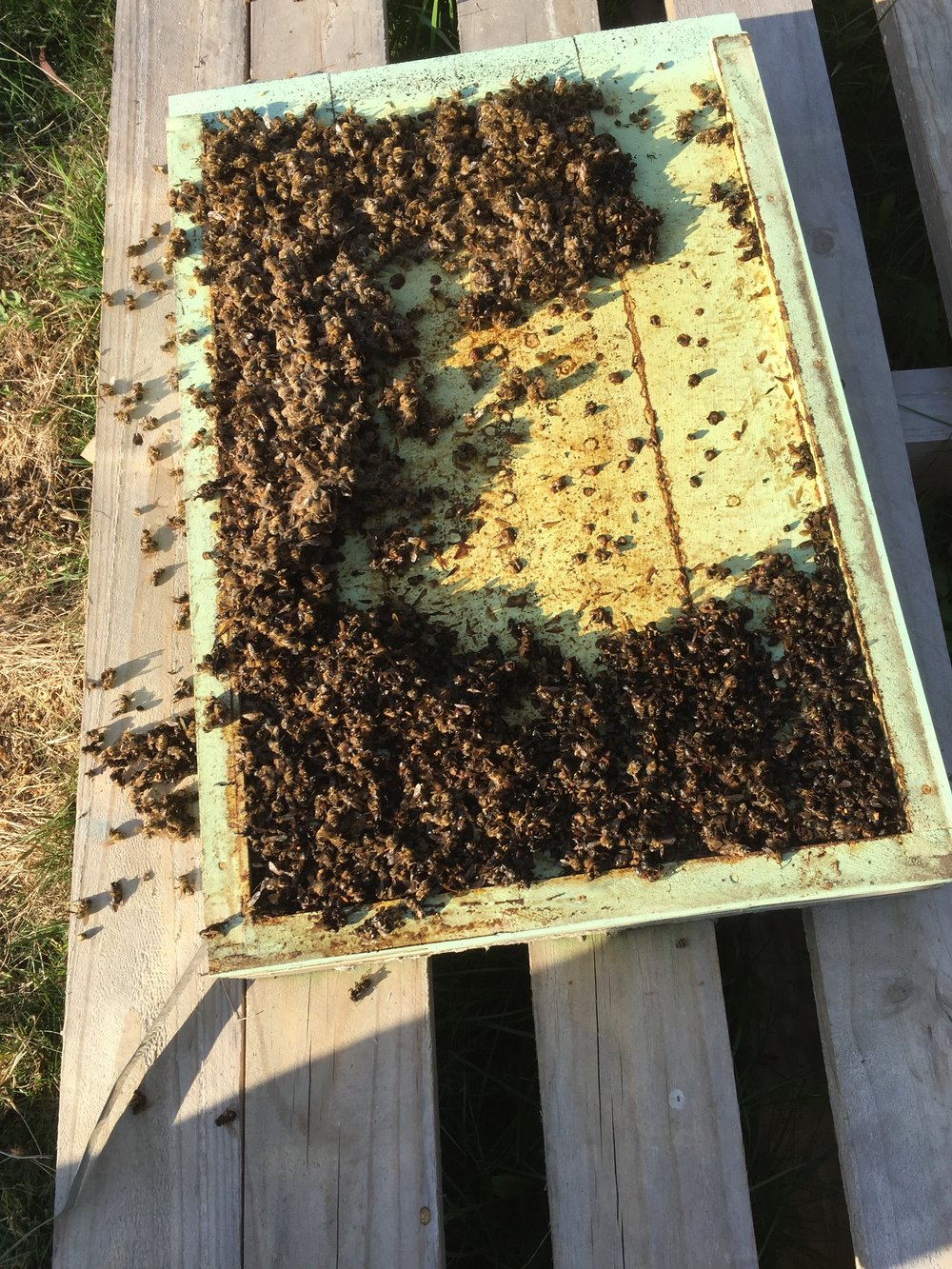 B Blog Natural Beekeeping Tasmania Wiring Board Bee Frames Autumn Attrition