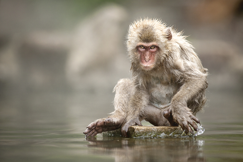 Inquisitive Macaque