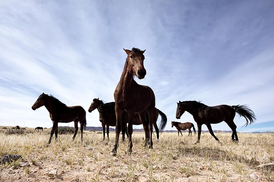 Wild Namib Horses