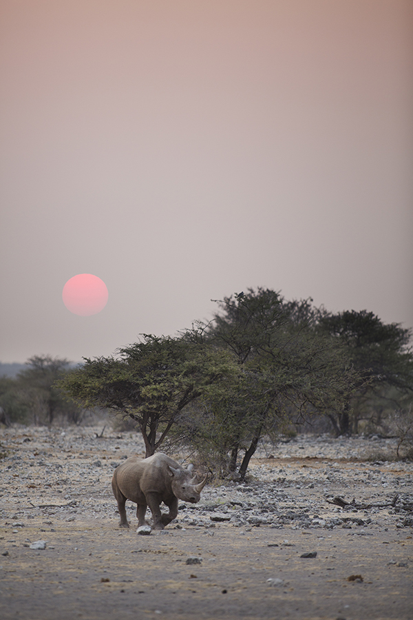 Black Rhino Sunrise