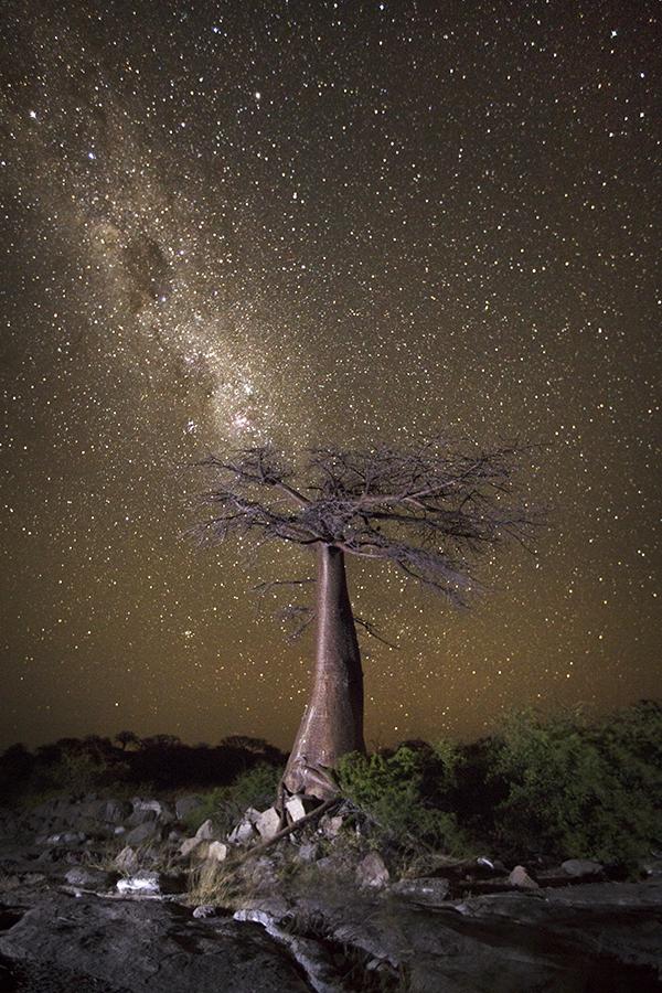 Celestial Baobab