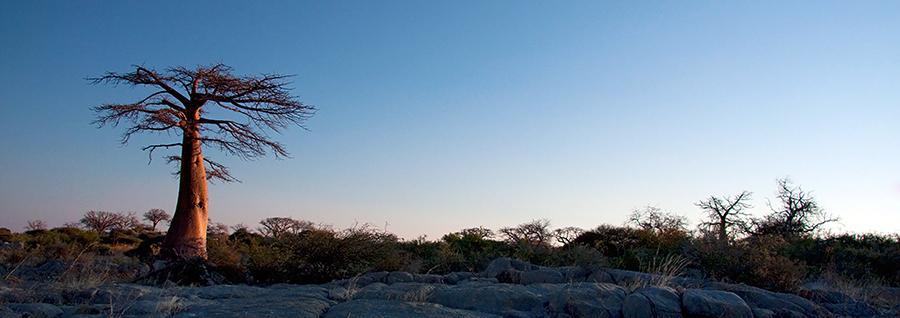 Baobab Light