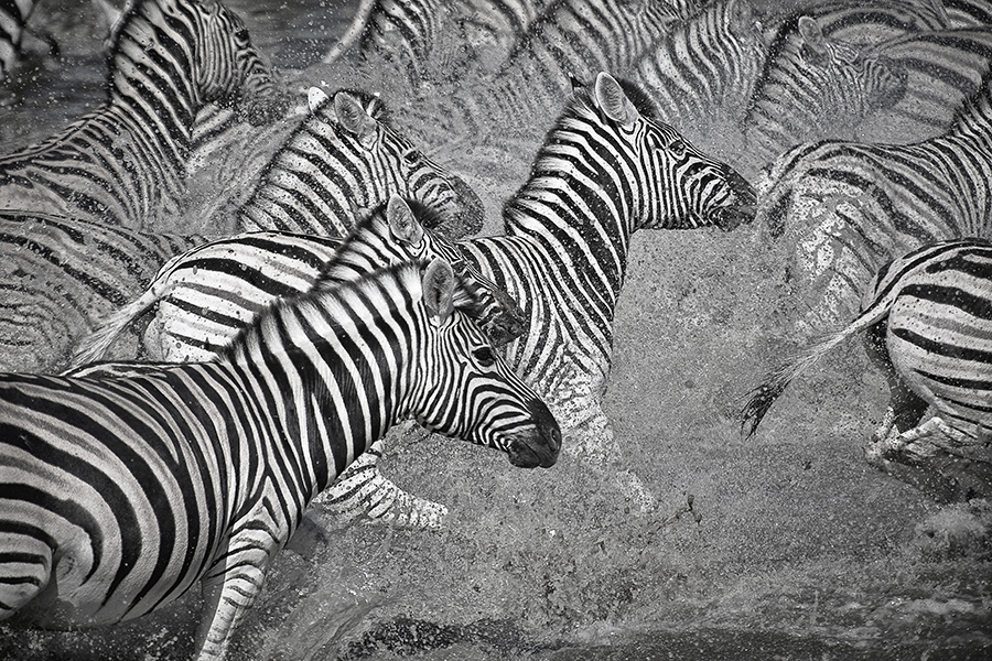 Zebra Flight