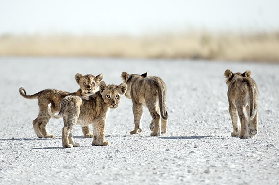 Little Lions