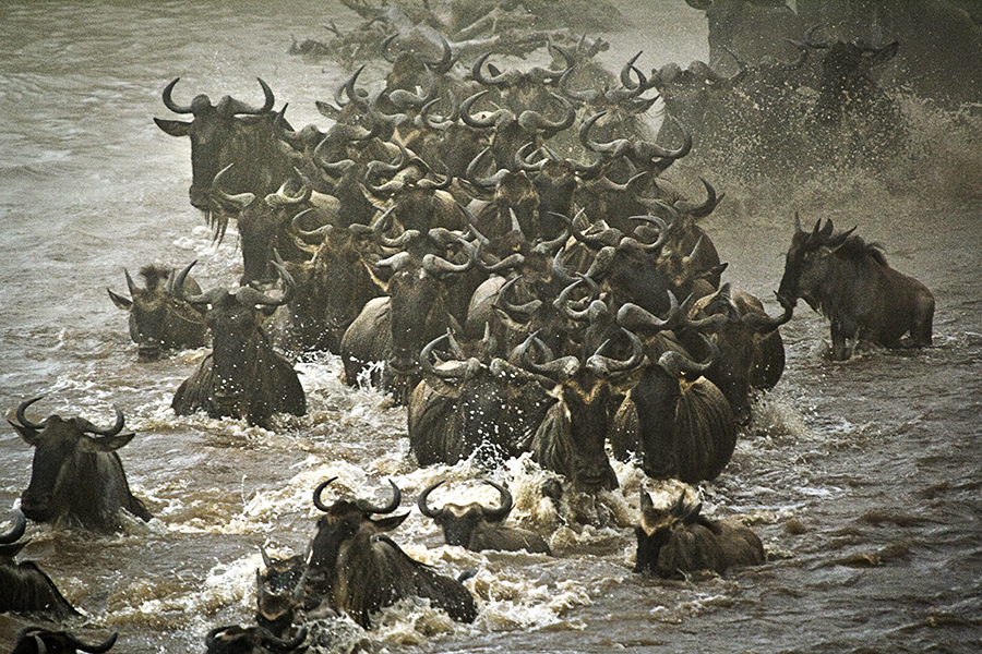 Wildebeest Swimmers