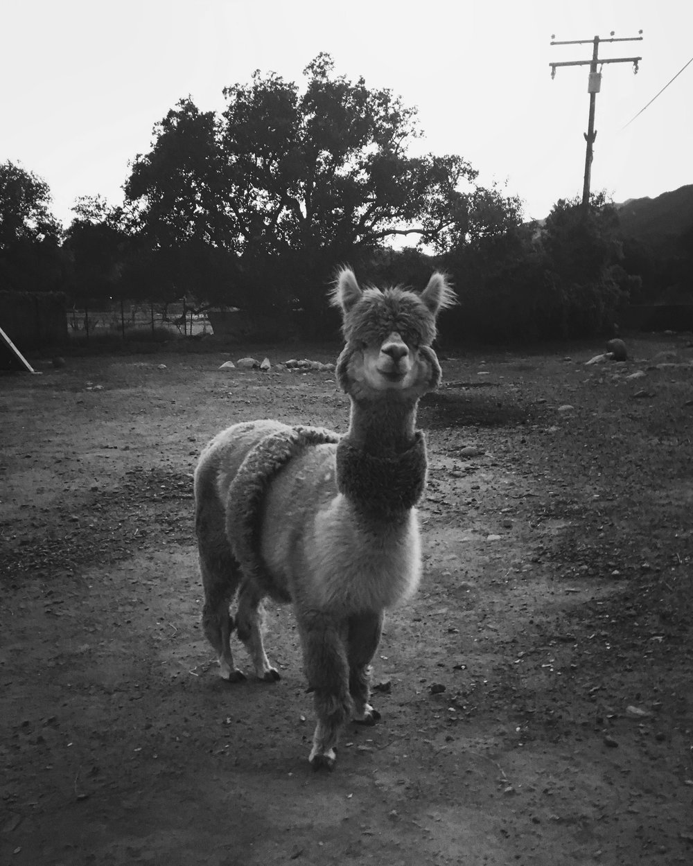 One of Joel Fox's Ojai alpacas, RIP