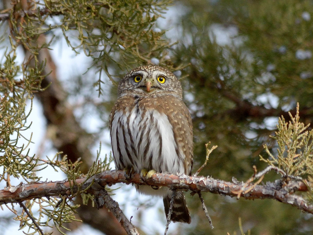 Pygmy Owl. Frank Lospalluto photo.