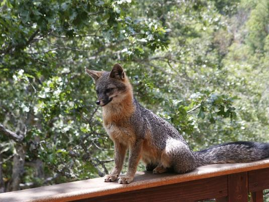 Gray Fox. Pat Gordon photo.