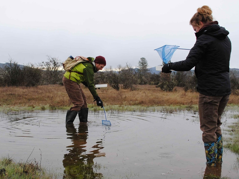 Volunteers, Matt Cosca and Audrey Harper net a pool to sample for the federally listed endangered fairy shrimp.